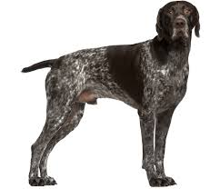 german shorthaired pointer shed german shorthaired pointer breed health history appearance