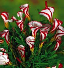 sale oxalis flowers bulbs color rotary oxalis bulbs world s