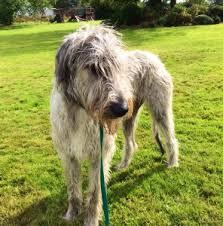 Irish Wolfhound Non Shedding by The Dogs Of Ireland Dog Tails