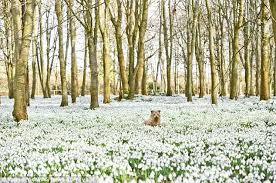 devotees pay hundreds for a single snowdrop bulb daily mail