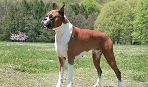 What Dog Sheds The Most by Boxer Dog Breed Information