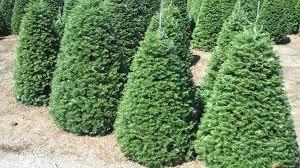 Nordmann Fir Christmas Trees Wholesale by Wholesale Christmas Trees In Bulk Christmas Trees Worldwide