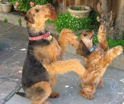 Airedale Terrier Non Shedding by 65 Best Airedale Terriers Images On Pinterest Airedale Terrier