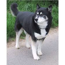 best 25 husky information ideas on pinterest siberian husky mix