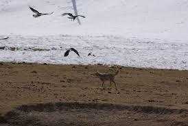 Colorado Blm Christmas Tree Permits by With Lawsuit Pending Blm Cancels Idaho Predator Killing Derby