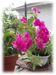 bougainvillée pessac gironde fleur pessac gironde fleuriste