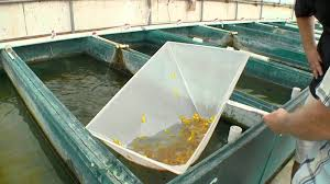 Fish Farm In FLA Introducing New Glo Barbs From Segrest - YouTube Image Of Tambuka Backyard Fish Farming Aquaculture Pinterest Backyard Landscape Design Tilapia Farm For Sale Turn Your Backyard Into A Raise At Home Inspirational Architecturenice Genetic Research Turning Into Major Global Commodity Photo With Wonderful In The Aquaponic Update Steps Back Now Picture On Rice Capvating Aquaponics Design And Ideas House Backyards Bright Olympus Digital Camera Traing Learn From Anywhere Pictures
