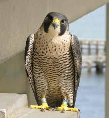 A Male Virginia Peregrine