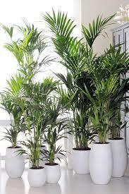 kentia palme wohnzimmer pflanzen zimmerpflanzen palmenarten
