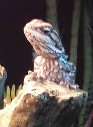 Bearded Dragon Shedding A Lot by Black Baby Beardie At Pet Store Cause For Concern U2022 Bearded