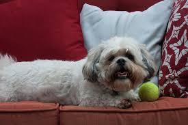 Do Hypoallergenic Dogs Still Shed by Zuchon Wikipedia