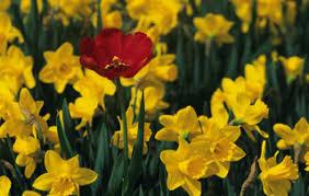 yard and garden planting flowering bulbs iowa state
