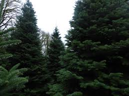 Types Christmas Trees Most Fragrant by Farm Fresh Christmas Trees From Around Grays Harbor Graysharbortalk