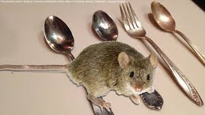 NEW! - How To Keep Mice OUT Of Your House Or Apartment For Good ... Mice How To Identity And Get Rid Of In The Garden Home Rats Guaranteed 4 Easy Steps Youtube Does Peppermint Oil Repel Yes Best 25 Getting Rid Rats Ideas On Pinterest 8 Questions Answers About Deer Hantavirus Mouse Control To Of In The Keep Away From Bird Feeders Walls 2 Quick Ways That Work Get Rid Of Rats Using This 3 Home Methods Naturally Dangers Rat Poison Dr Axe Out Your Without Killing Them