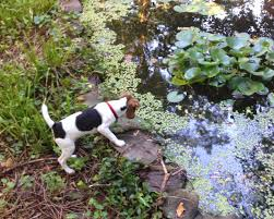 Do Treeing Walker Coonhounds Shed by Terrierman U0027s Daily Dose 07 01 2014 08 01 2014