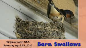 Barn Swallows, Virginia Coast - Episode 2 - YouTube Bird Nest Idenfication Identify Nests How To Get Rid Of Swallows Best 25 Barn Swallow Ideas On Pinterest Pretty Birds Blue Bird Tree Have Returned From Migration To In Gourds Stained Glass Window March 2017 Cis Corner F June 2012 Nextdoor Nature Stparks Roosting For The Love Birds Easy Tips Attract Swifts And Martins True Life With God Hard Swallow Avian Explorer Blog Archive Babies Cottage Country Reflections Darou Farm Site Demolition Is Hold