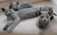 russian cat names russian cat names