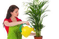 areca palme gießen wie viel wasser braucht die palme