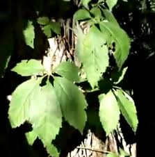 This Is Not Poison Ivy Its Virginia Creeper