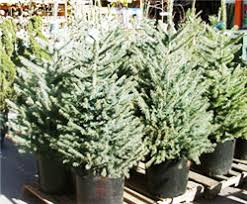 Potted Christmas Tree by Living Christmas Trees University Of Florida Institute Of Food