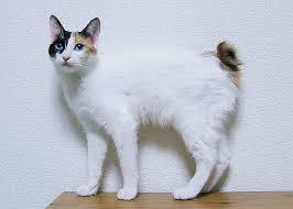 bobtail cat japanese bobtail