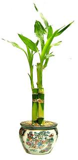 planting bamboo in a pot houseplant care guides lucky bamboo 101