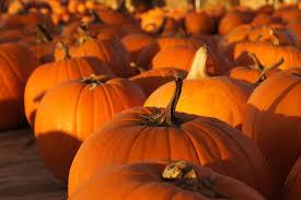 Pumpkin Patch Near Greenville Nc by Pumpkins Galore In South Carolina