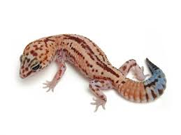 Halloween Pinstripe Crested Gecko by 322 Best Geckos Gone Wild Images On Pinterest Lizards Crested
