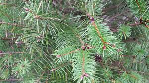 Silvertip Christmas Tree Orange County by Select The Perfect Christmas Tree At A Whatcom County Tree Farm