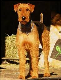 Airedale Terrier Non Shedding by Rock Ranch Family Airedales Www Airedales4u Com Most Awesome Non