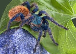 Pumpkin Patch Tarantula Scientific Name by The Greenbottle Blue Tarantula A Native Of The Paraguaná