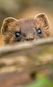 Weasel Stoat Animals Great and Small