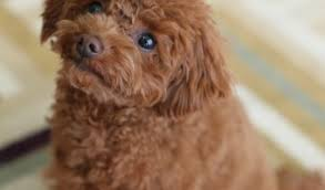 Non Shedding Hypoallergenic Dogs by Non Shedding Dogs Archives Dogvills