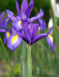 blue iris 85131