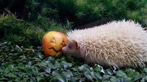 Porcupine Eats Pumpkin by Halloween Pumpkin Playtime Dudley Zoological Gardens
