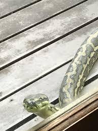 Snake Skin Shedding Lucky by Brisbane U2013 The Global Goddess
