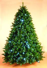 Christmas Tree Saplings Ireland by Irish Christmas Trees Website