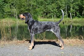 Do Bluetick Coonhounds Shed by Squirrel Hunting Dogs 10 Most Popular Breeds