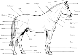 Animal Anatomy Coloring Book Horse Pages Of