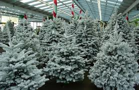 Silver Tip Christmas Tree Los Angeles by Christmas Tree Delivery And Set Up Services In Seattle