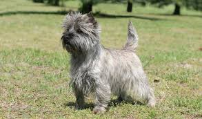 cairn terrier shed hair cairn terrier breed information