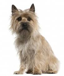 Cute Non Hypoallergenic Dogs by 16 Cairn Terrier Non Shedding Small Dogs Most Popular