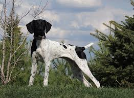 german shorthaired pointer shed news bird to shed pointless or possible