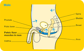 Male Pelvic Floor Relaxation Exercises by Pelvic Floor Exercises Cancer Council Victoria