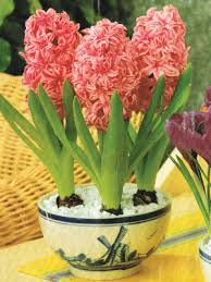 pink hyacinth bulbs indoor plant flower bulbs farmer