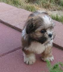 lhasa apso puppy shedding adorable lhasa apso puppies for more puppies check out our