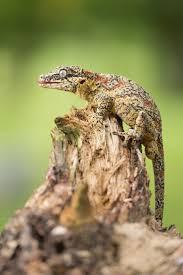 Crested Gecko Shedding Behavior by 143 Best Animals Lizards Images On Pinterest Animals Chameleons