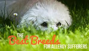 Do Hypoallergenic Dogs Shed As Puppies by Hypoallergenic Dogs Dogs Good For Allergy Suffers American