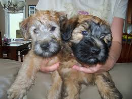 Do Wheaten Terrier Puppies Shed by Witthaven Wheatens Canadian Kennel Club Reg U0027d Irish Vs North