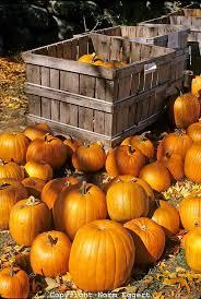 Pumpkin Patch Massachusetts by Best 25 Pumpkin Farm Ideas On Pinterest Pumpkin Festival 2017